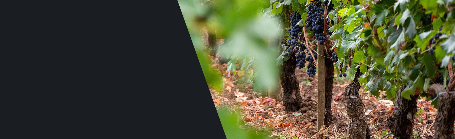 Découvrez l'appellation Bordeaux Supérieur